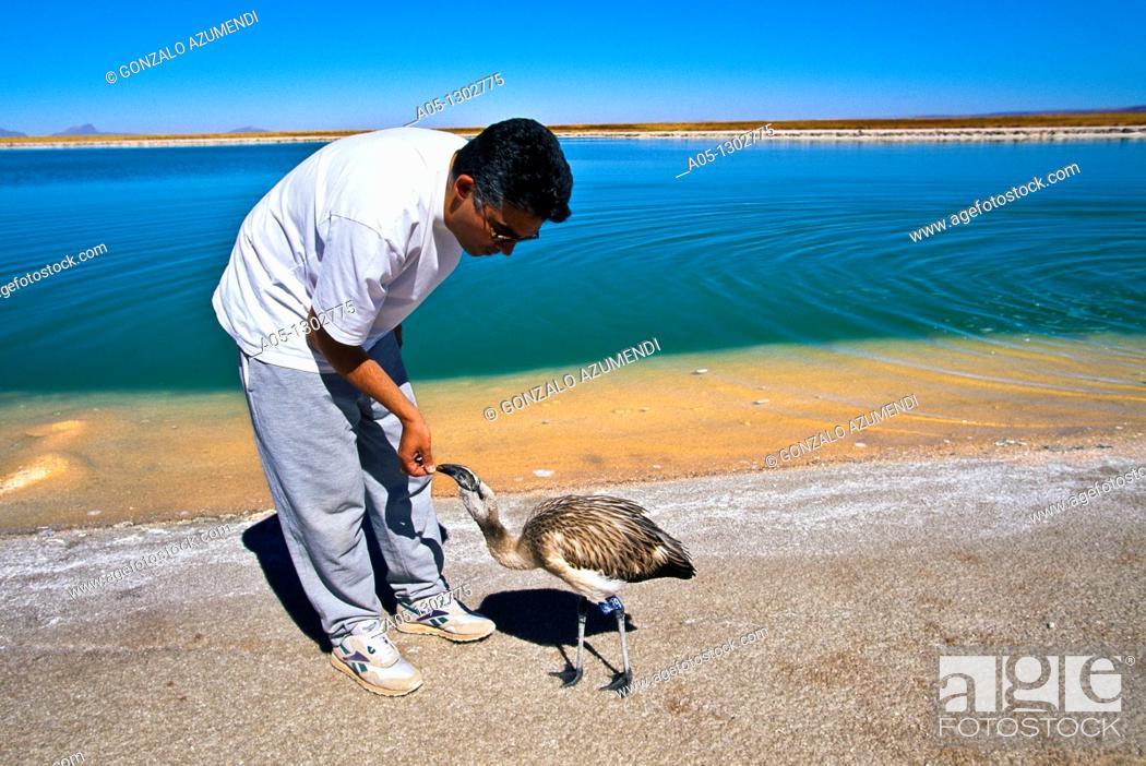 Stock Photo: Flamingo  Cejas Lagoon  Atacama Desert, Region of Antofagasta, North of Chile.