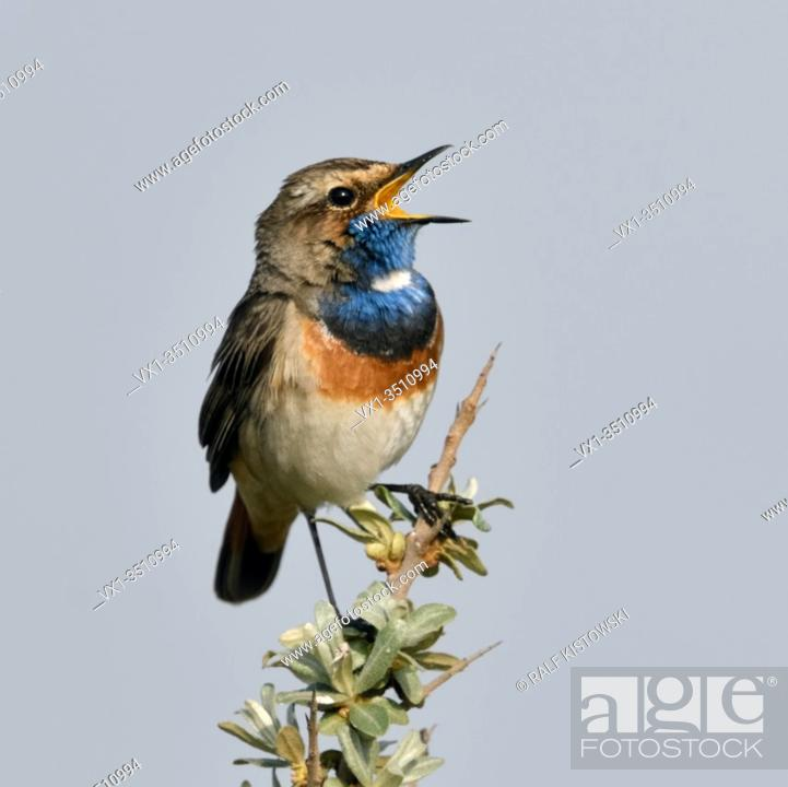 Stock Photo: White-spotted Bluethroat ( Luscinia svecica ) adult male, perched on seabuckthorn, singing, wildlife, Europe.