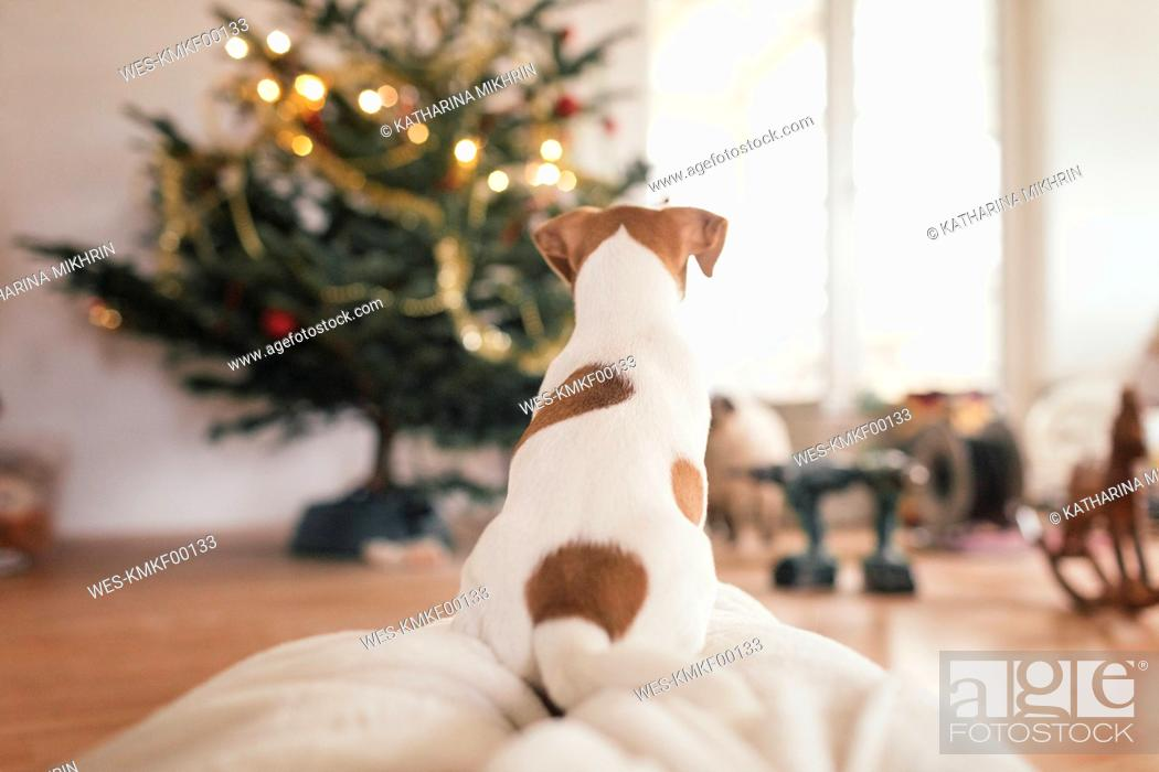 Stock Photo: Jack Russel Terrier sitting in front of Christmas tree.