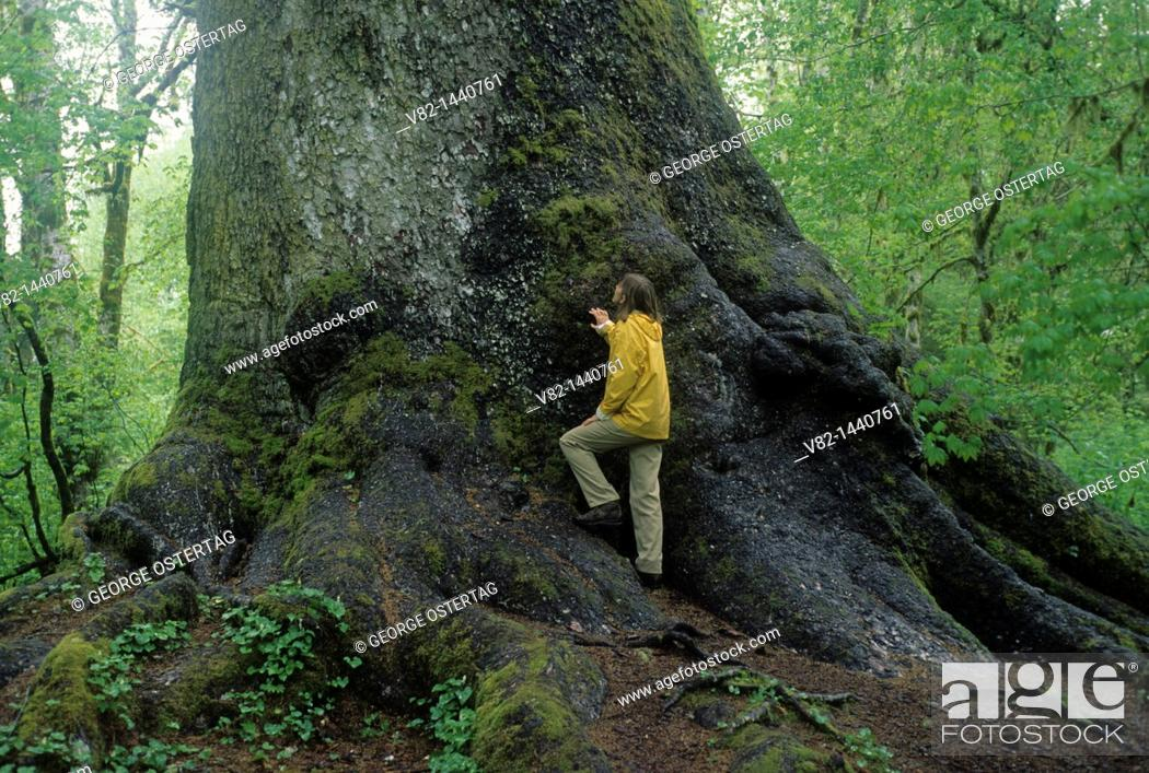 Stock Photo: Worlds largest Sitka spruce Picea sitchensis, Quinault River Valley, WA.