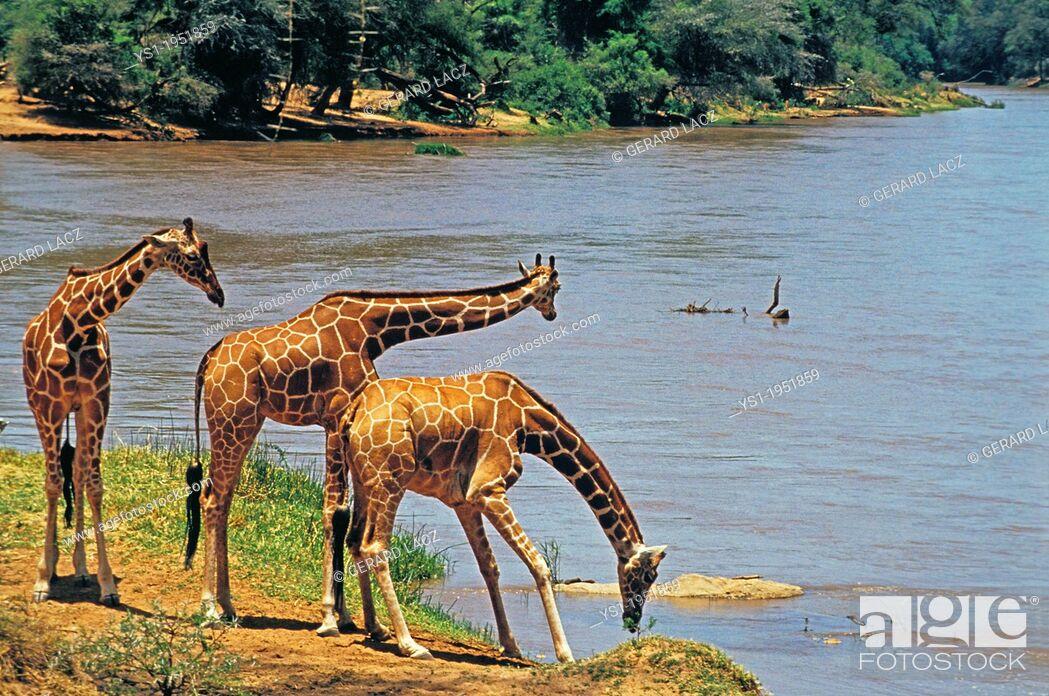 Stock Photo: Reticulated Giraffe, giraffa camelopardalis reticulata, Group drinking at River, Samburu Park in Kenya.