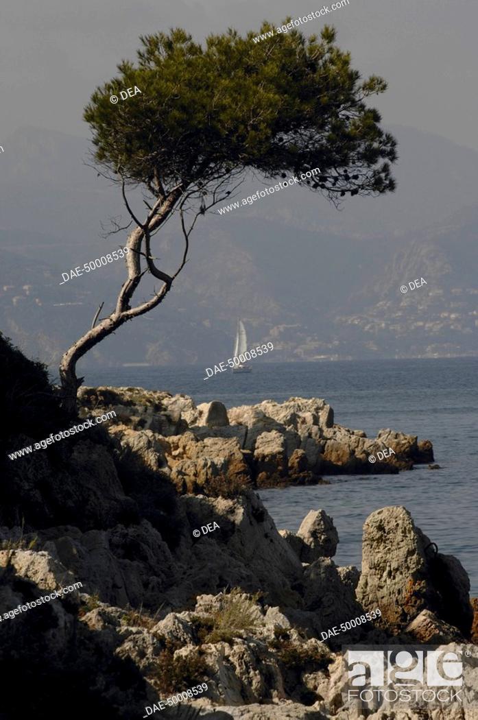 Stock Photo: France - Provence-Alpes-Côte d'Azur Region - Iles des Lérins - Saint-Honorat, maritime pine.