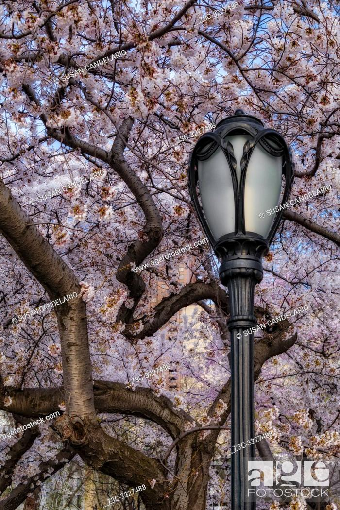Stock Photo: Cherry Blossoms At Central Park NYC - Cherry Blossom Trees in full bloom with an antique street lamp post at the iconic landmark of Central Park in upper.