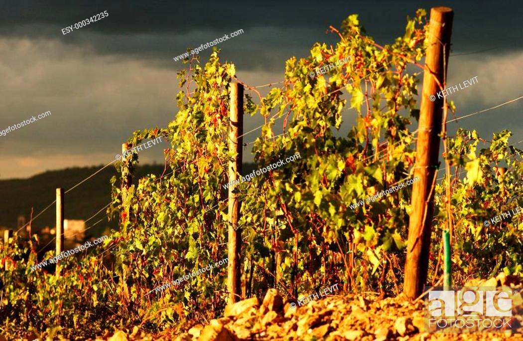 Stock Photo: Tuscany, Italy, Vineyards - Tuscany, Italy.