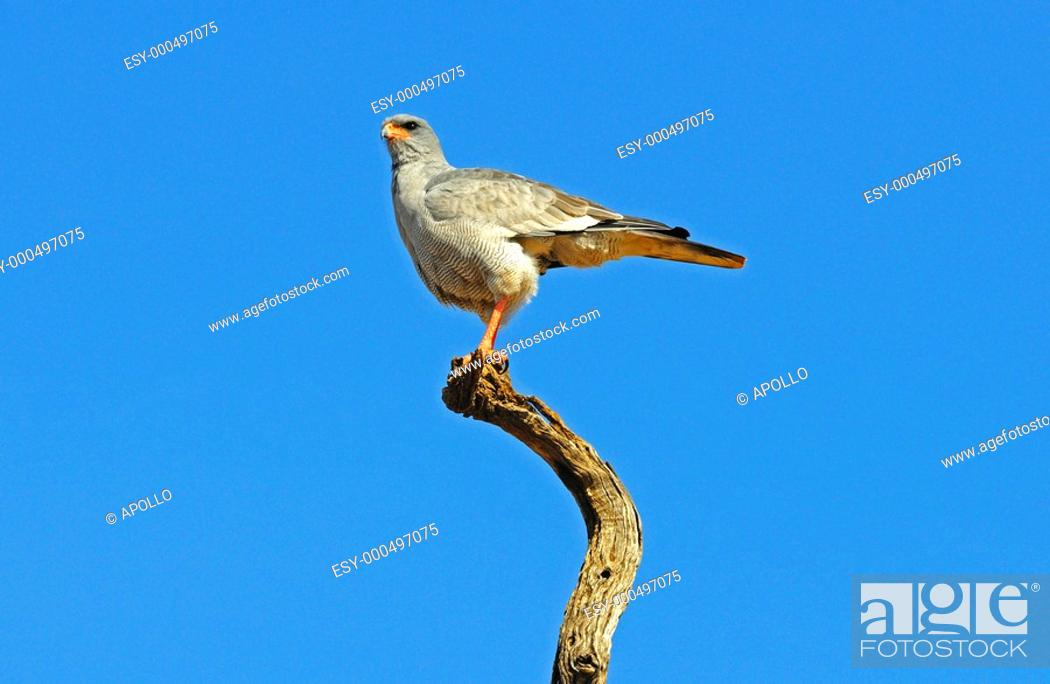 Stock Photo: Southern Pale Chanting Goshawk Melierax canorus on a perch, Madikwe Game Reserve, South Africa.
