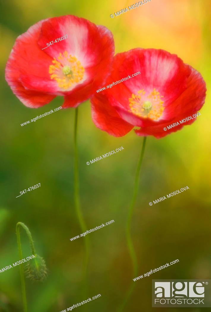 Stock Photo: Two Poppy Flowers and a bud. Corn Poppy, Shirley Poppy, Flanders Poppy (Papaver rhoeas). Maryland, USA.
