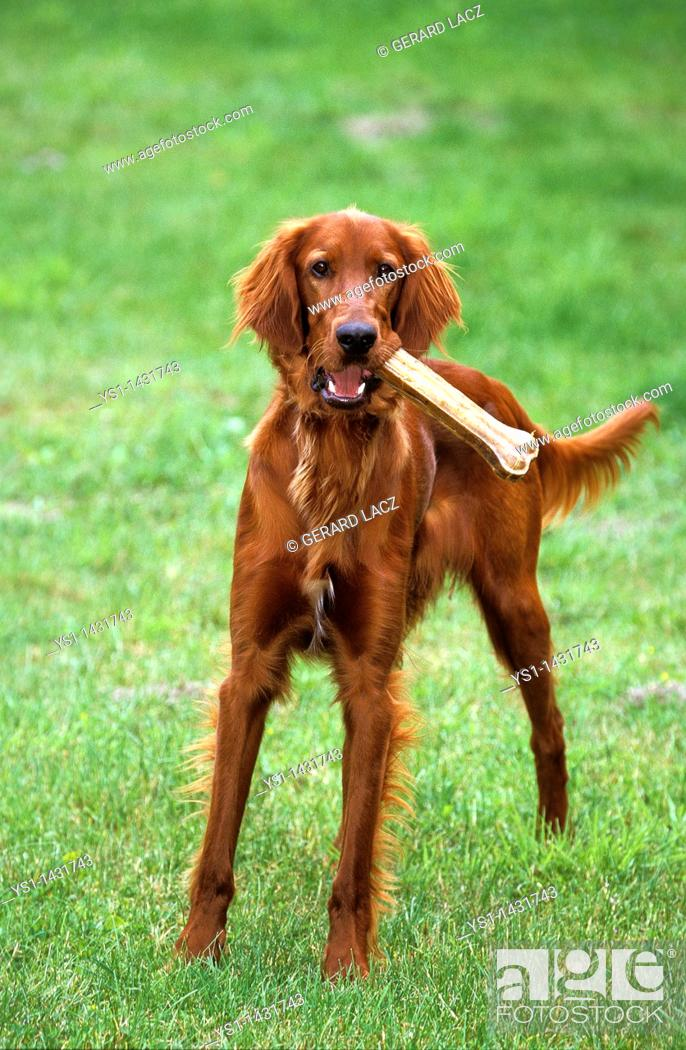 Stock Photo: IRISH SETTER OR RED SETTER, MALE PLAYING WITH BONE.