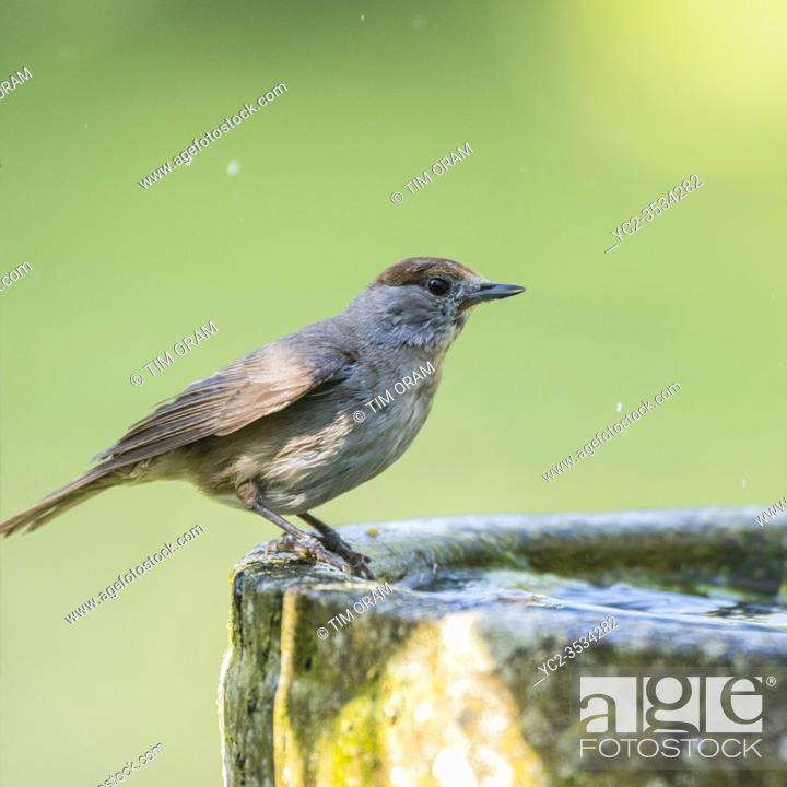 Stock Photo: A Blackcap, Sylvia atricapilla, single female in a Uk garden.