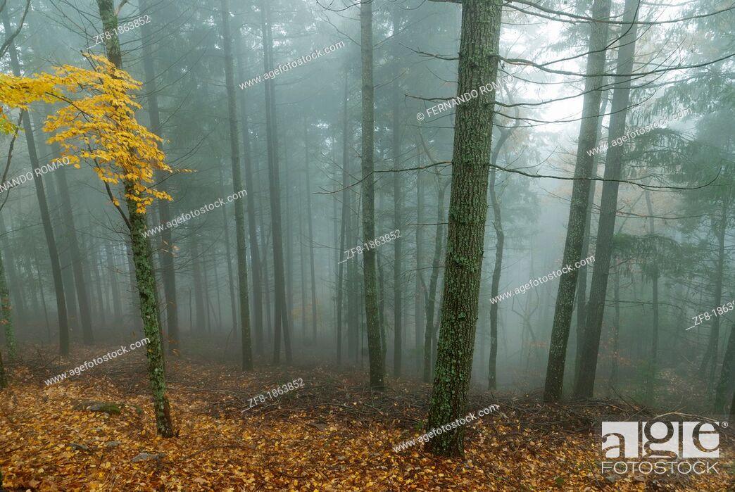 Imagen: Forest in the mist-4, at Estrela Mountain Natural Park, Portugal.