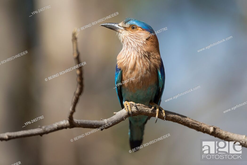 Stock Photo: Indian roller (Coracias benghalensis) sitting on branch, Pench National Park, Madhya Pradesh, India.
