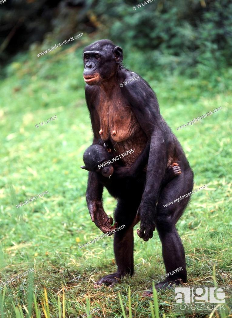 bonobo, pygmy chimpanzee Pan paniscus, standing upright with pup