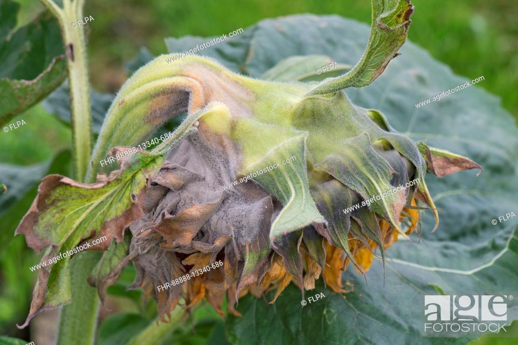 Stock Photo: Grey mould, Botrytis cinerea, on a large sunflower flower as it begins to go to seed.