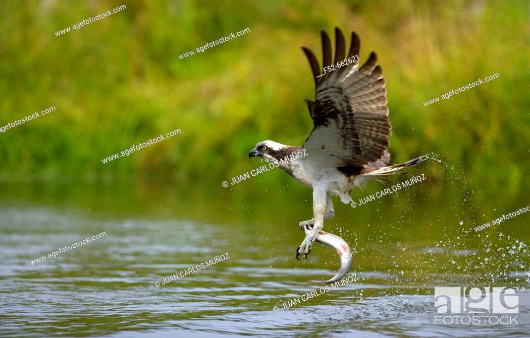 Stock Photo: Osprey (Pandion haliaetus). Finland.