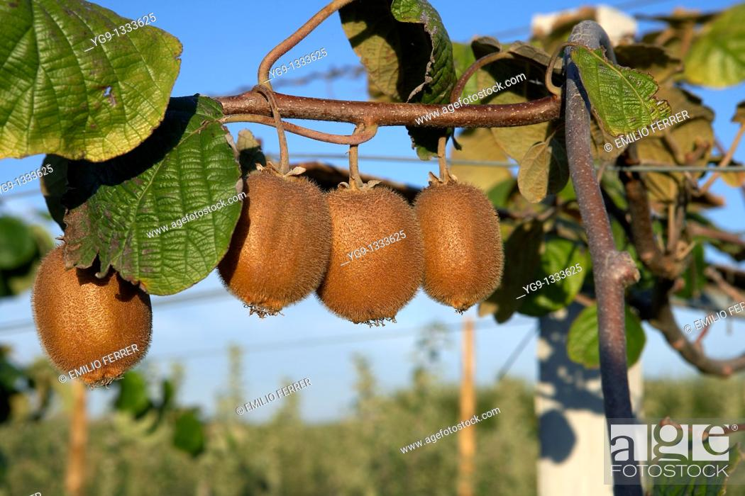 Stock Photo: Kiwi on a tree LLeida Spain.
