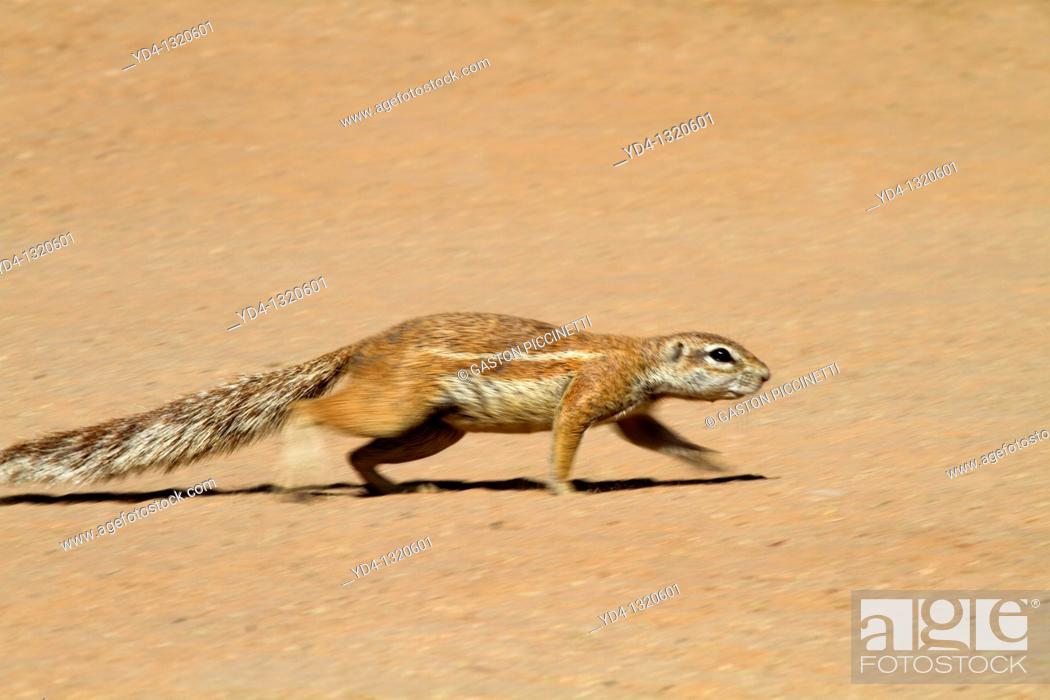 Photo de stock: Ground squirrel Xerus inauris, Kgalagadi Transfrontier Park, Kalahari desert, South Africa.