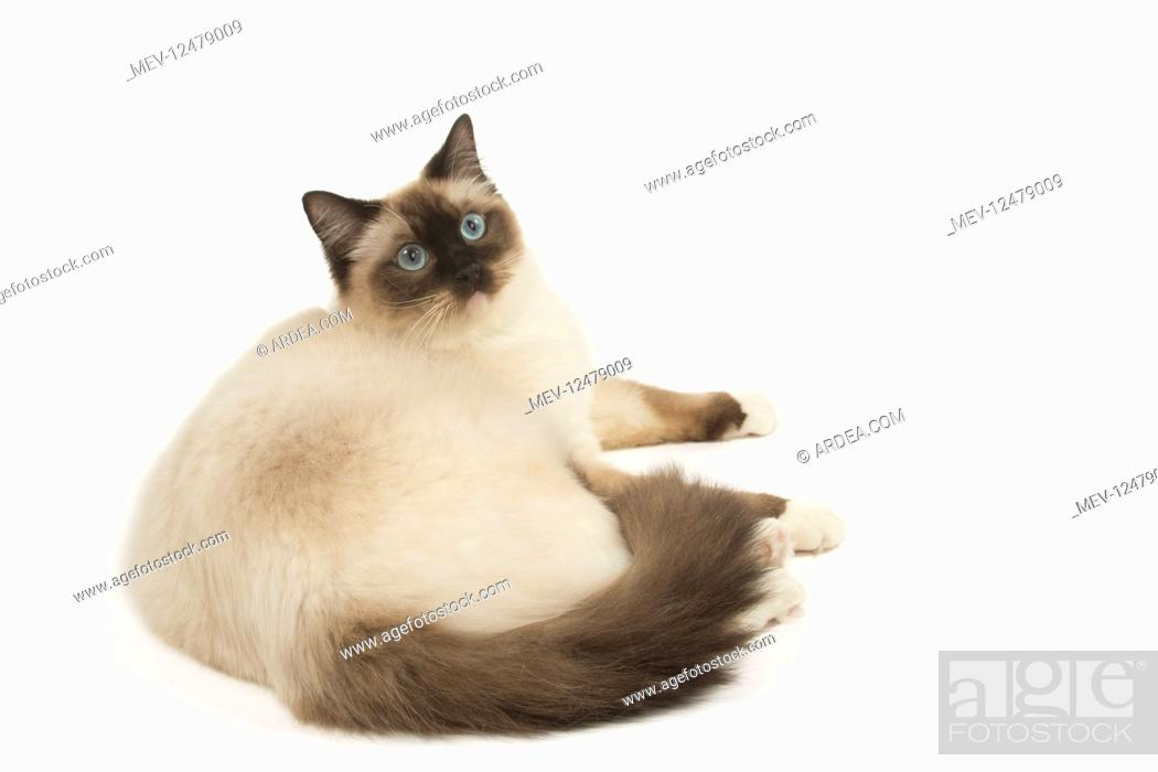 Stock Photo: Ragdoll cat in the studio.