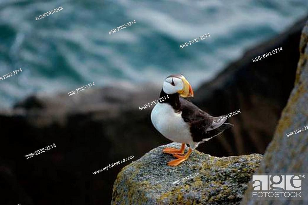 Stock Photo: Horned Puffin on a rock Fratercula corniculata.