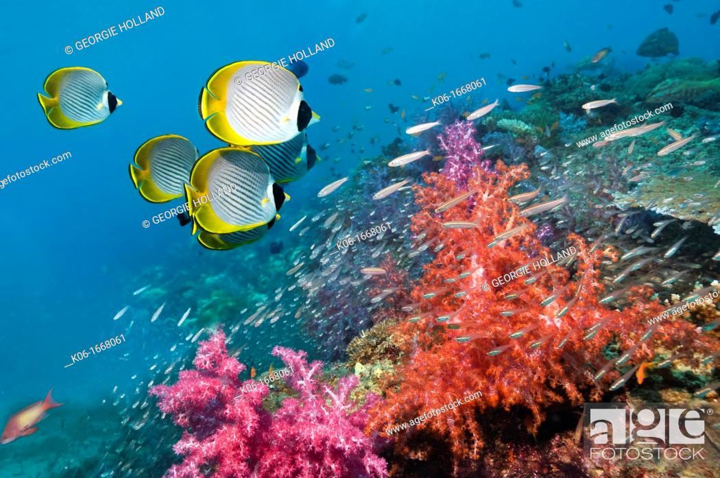 Stock Photo: Panda butterflyfish Chaetodon adiergastos over coral reef  Andaman Sea, Thailand.