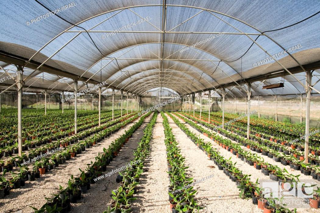 Israel, Jordan Valley, Kibbutz Ashdot Yaacov, A banana seedling