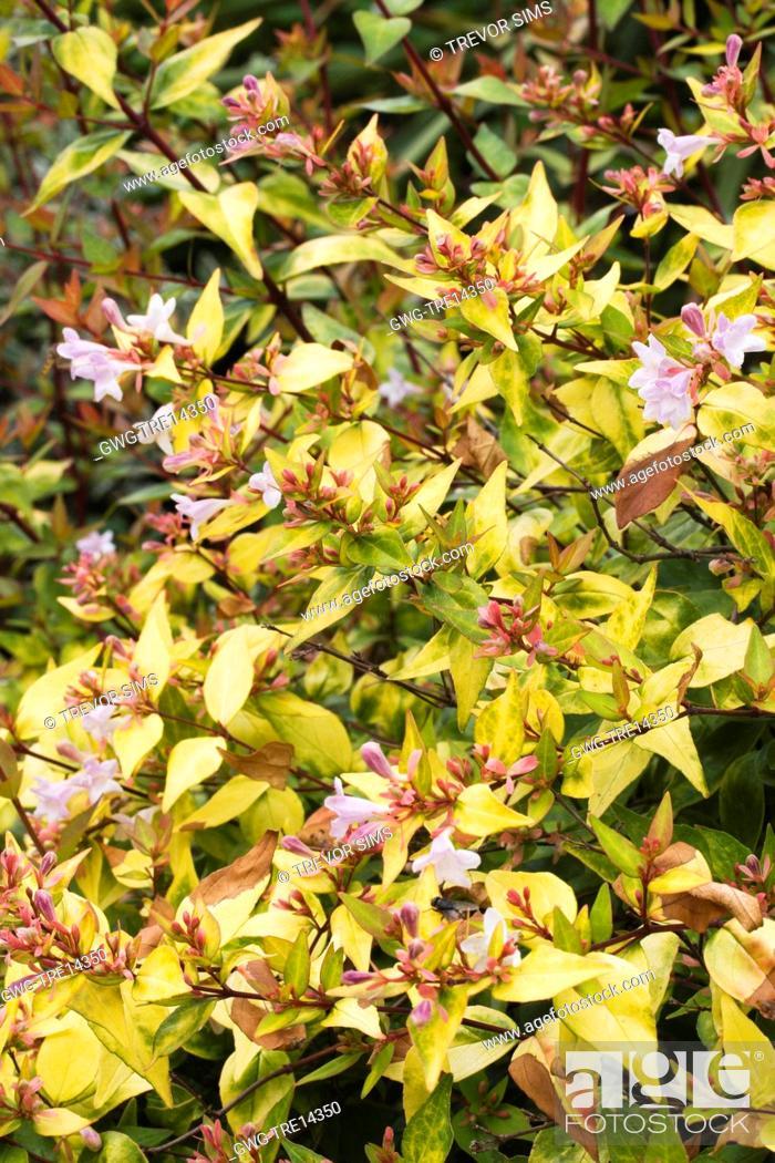 Abelia X Grandiflora Francis Mason Stock Photo Picture And