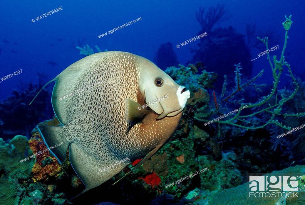 Imagen: Gray Angelfish, Pamacanthus arcuatus, Caribbean Sea, Bahamas.
