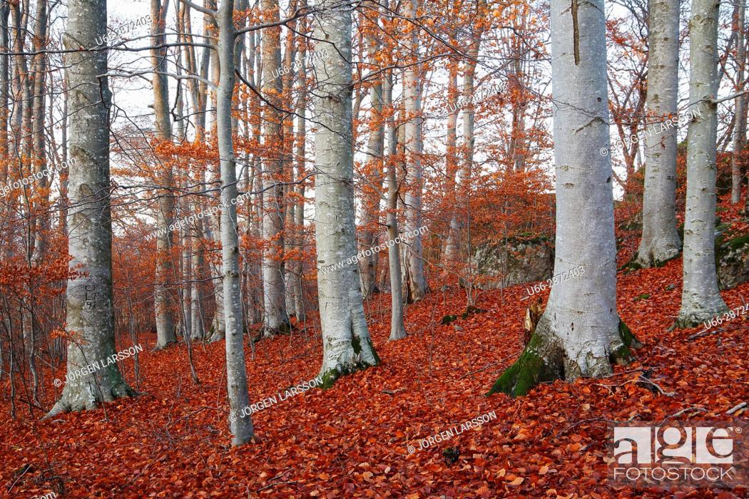 Imagen: Grey tree trunks in autumn scenery, Morko, Sodermanland, Sweden.