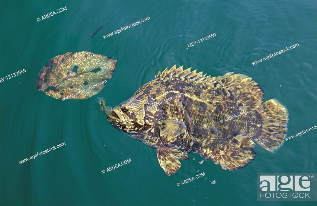 Stock Photo: Atlantic tripletail or tripletail, Lobotes surinamensis, catching a samall fish under a dead leaf. This is a feeding strategy because of the locality of their.