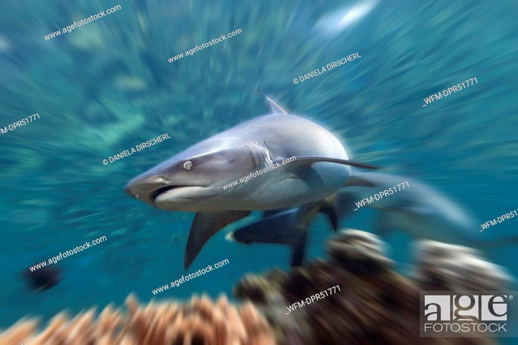 Stock Photo: Whitetip Reef Shark, Triaenodon obesus, Beqa Lagoon, Viti Levu, Fiji.