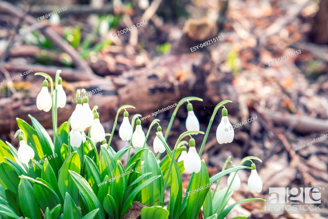 Stock Photo: Beautiful springtime background. White blooming snowdrop folded or Galanthus plicatus with water drops. Low angle. Sunshine. Sunrise.