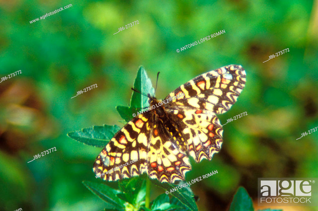 Stock Photo: Butterfly (Zerinthia rumina).
