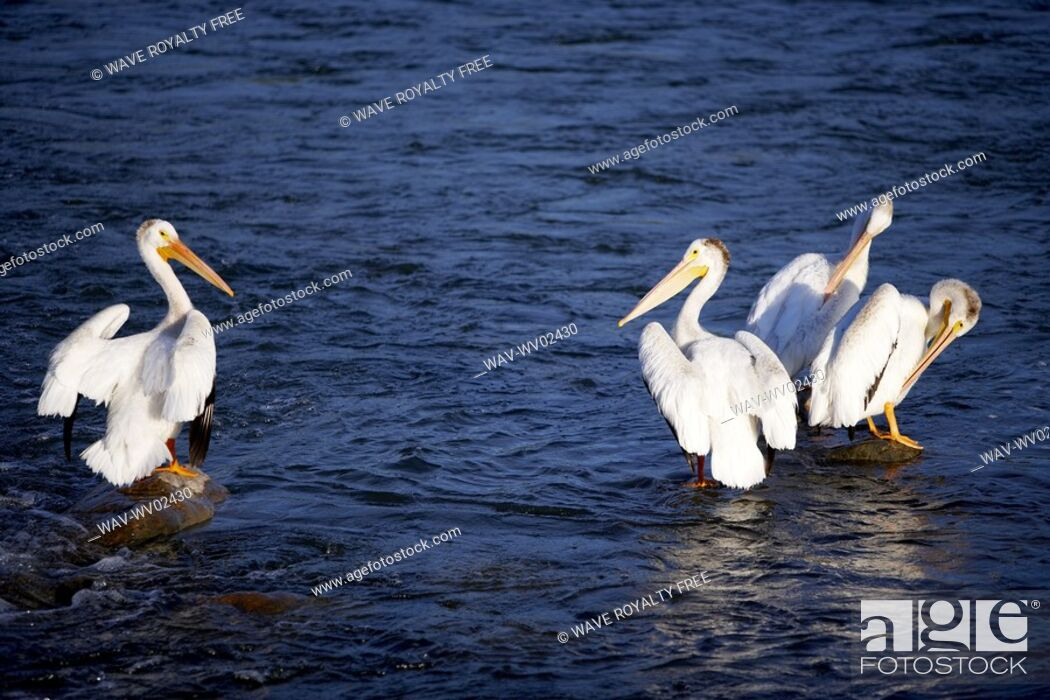 Stock Photo: Four pelicans standing on rocks in water, Canada, Alberta.