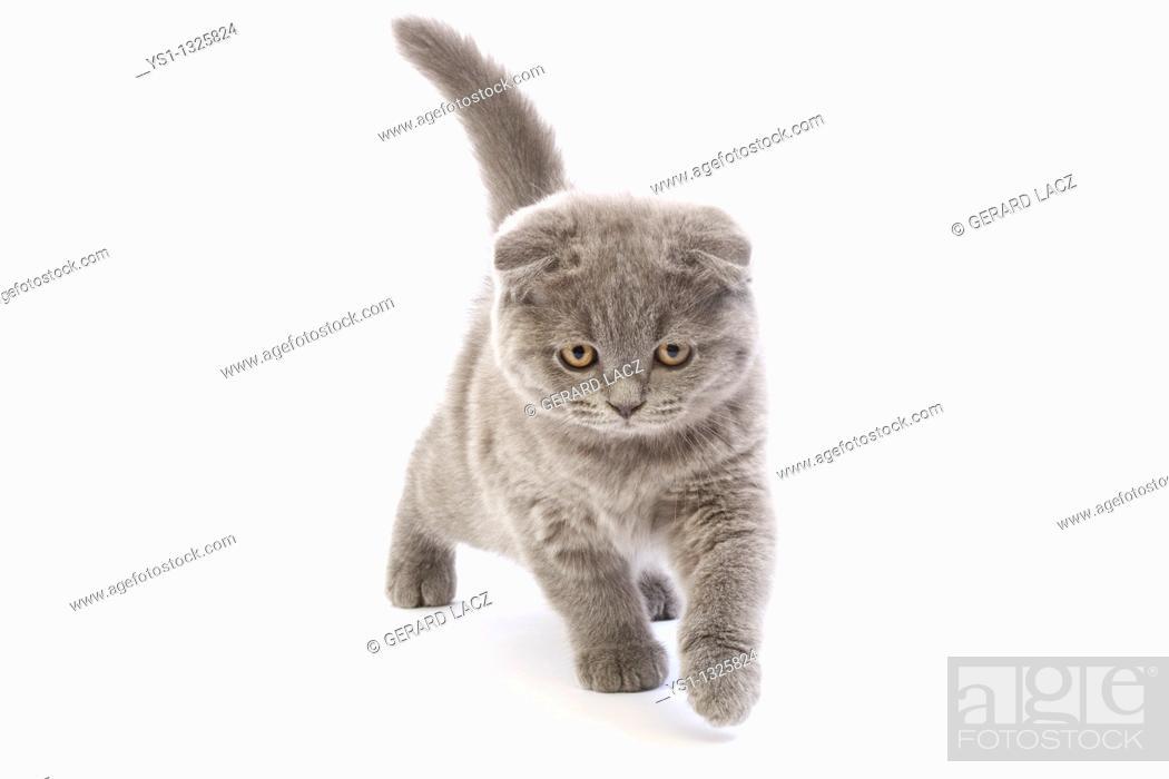 Stock Photo: BLUE SCOTTISH FOLD CAT, 2 MONTHS OLD KITTEN AGAINST WHITE BACKGROUND.