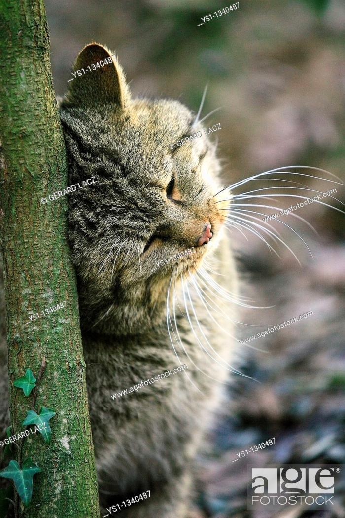 Stock Photo: EUROPEAN WILDCAT felis silvestris, ADULT RUBBING HEAD ON TREE.