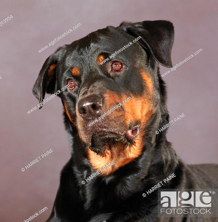 Stock Photo: Rottweiller: type of breed.
