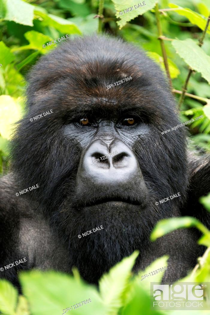 Stock Photo: A Male Silverback Gorilla (Gorilla beringei beringei) Looks Into The Distance With His Head Surrounded By Leaves And Branches In The Forest; Nkuli.
