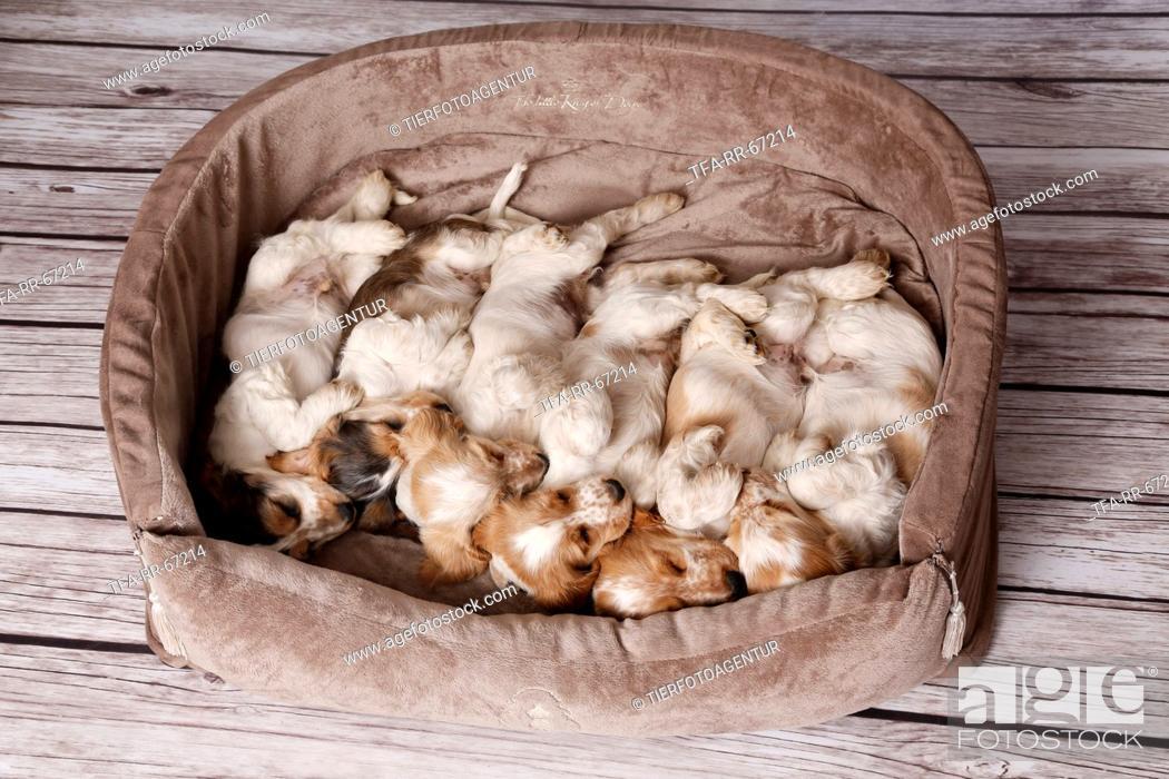 Stock Photo: English Cocker Spaniel Puppies.