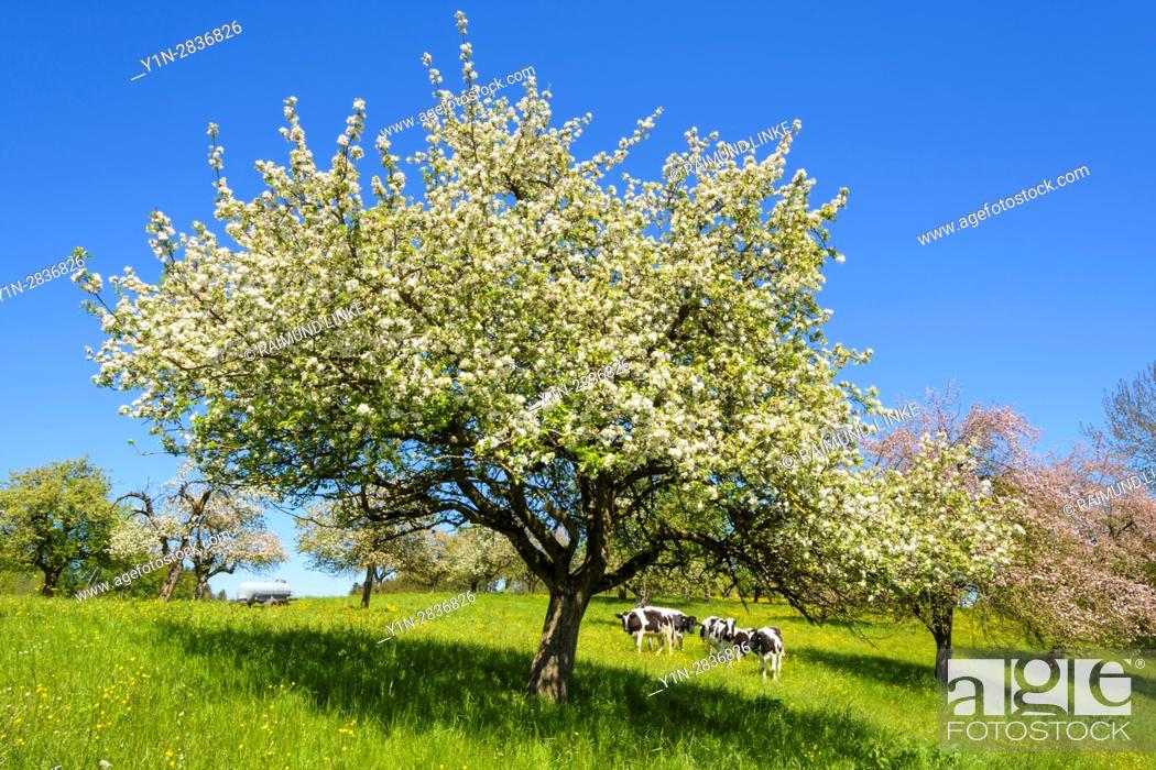 Photo de stock: Blossoming apple trees with cow herd in spring, Tettnang, Baden-Wurttemberg, Germany.