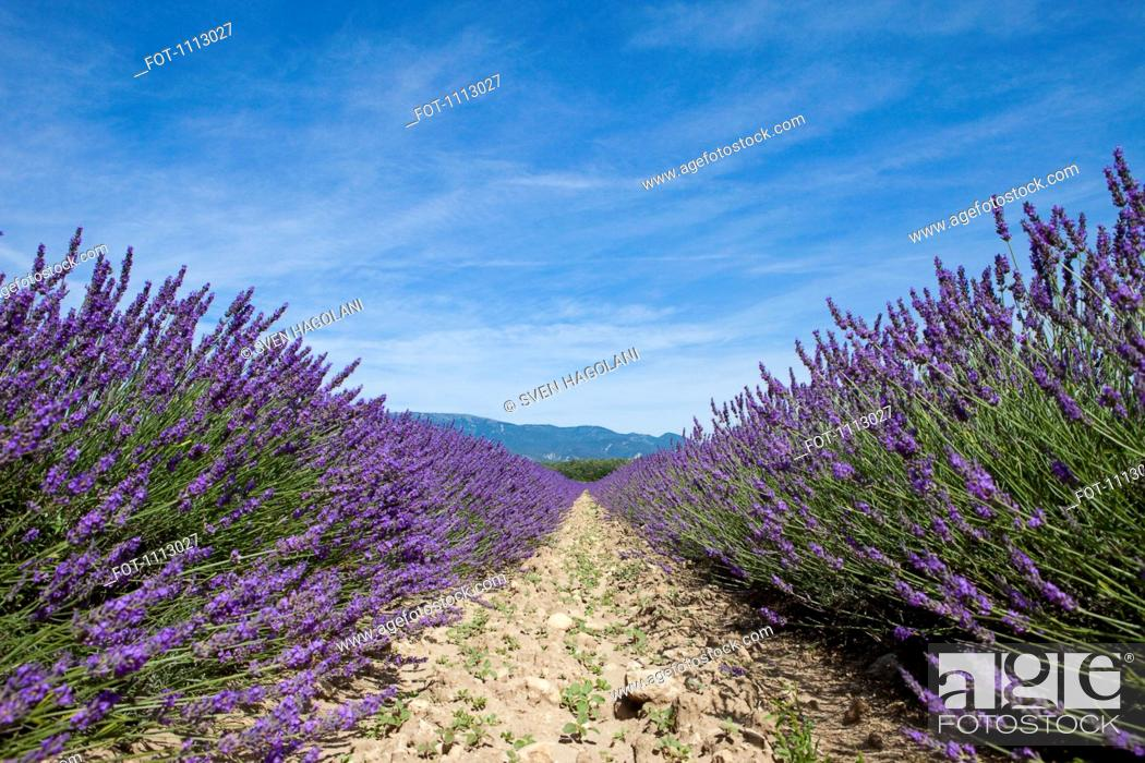 Stock Photo: Cultivated lavender growing in a field.