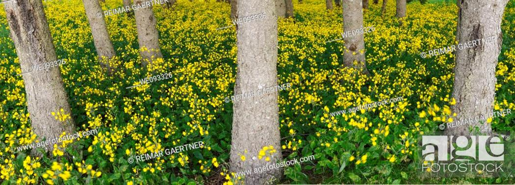 Stock Photo: Panorama of blanket of yellow flowering wildflowers in a forest in Cape Breton Island Canada.