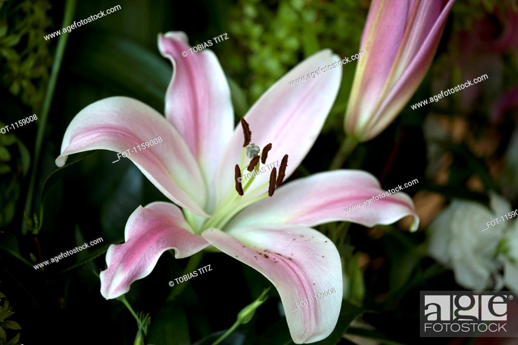 Stock Photo: Flower blooming, Easter Lily Lilium Longiflorum.