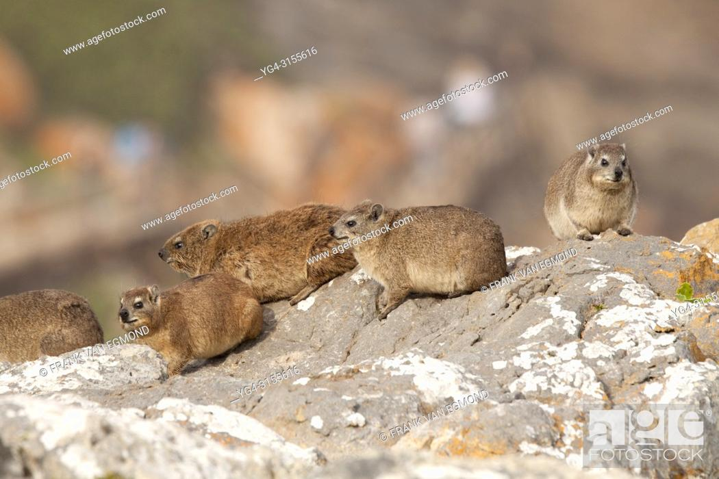 Stock Photo: Rock Dassie, Robberg Nature Reserve, South Africa.