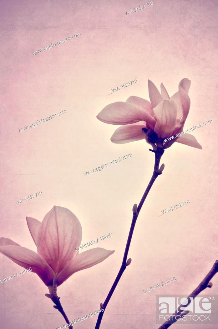 Stock Photo: Magnolia.