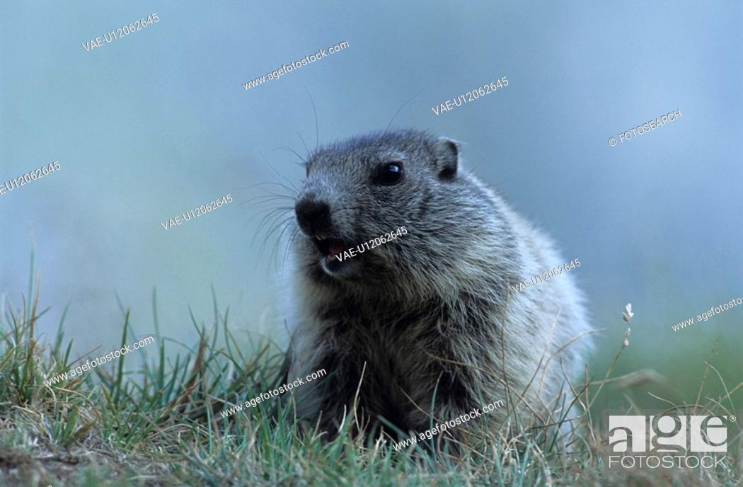 Stock Photo: animal portrait, alpenmurmeltier, animal, Alps, alpentier, animals, alpenbewohner.