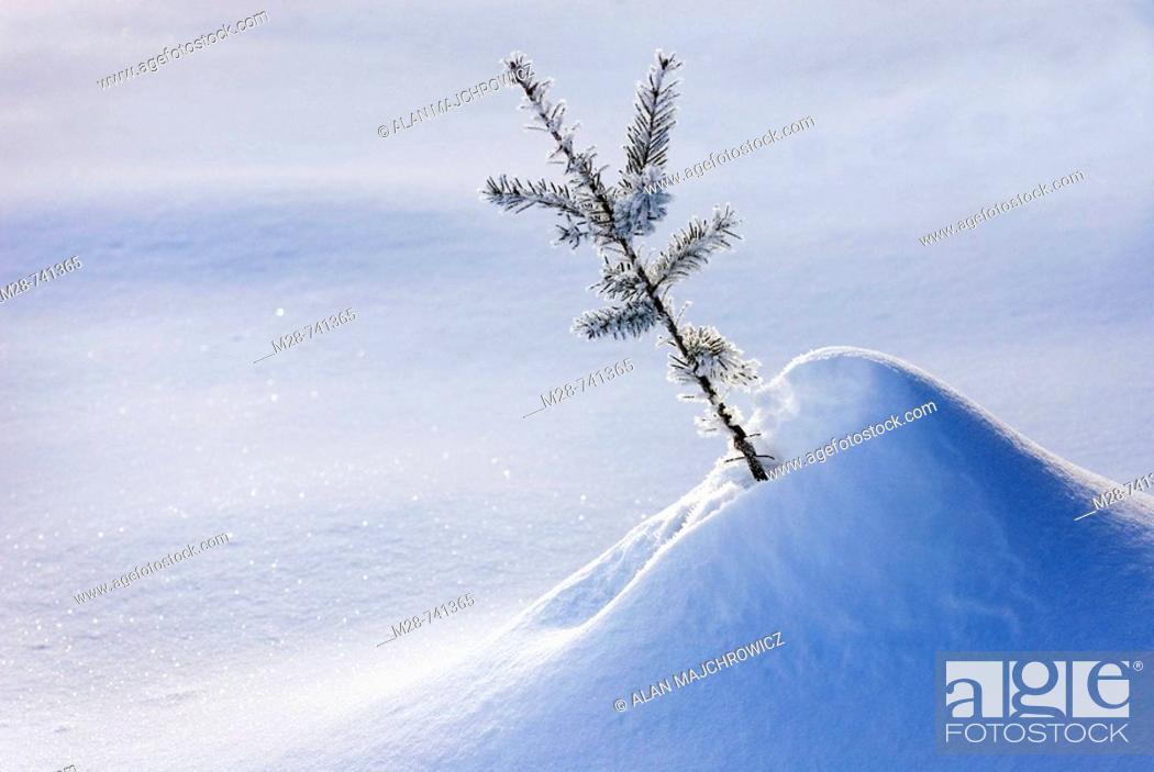 Stock Photo: Frost covered Douglas Fir (Pseudotsuga menziesii) sapling.