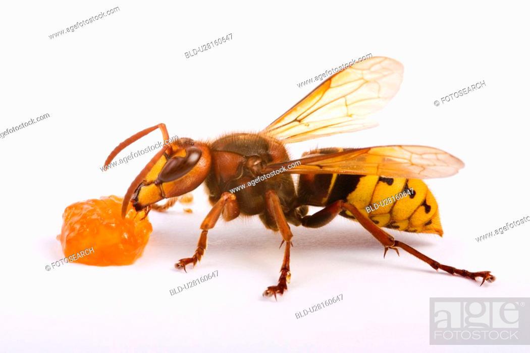 Stock Photo: freigestellt, alfred, aliment, animal, animals, bee.