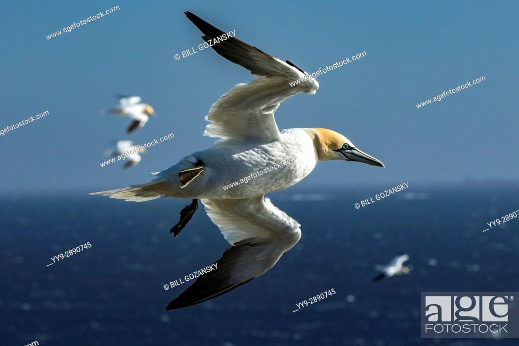 Stock Photo: Northern Gannet (Morus bassanus) in flight at Cape St. Mary's Ecological Reserve, Cape St. Mary's, Avalon Peninsula, Newfoundland, Canada.