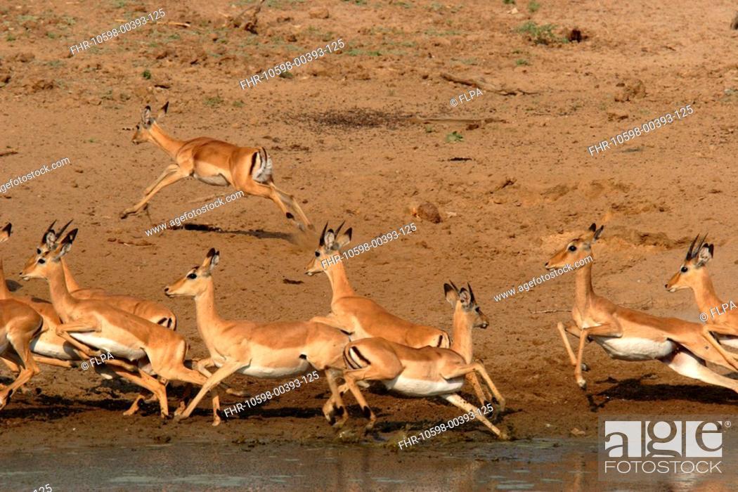 Imagen: Impala Aepyceros melampus herd at waterhole, running away from predator, South Luangwa N P , Zambia.