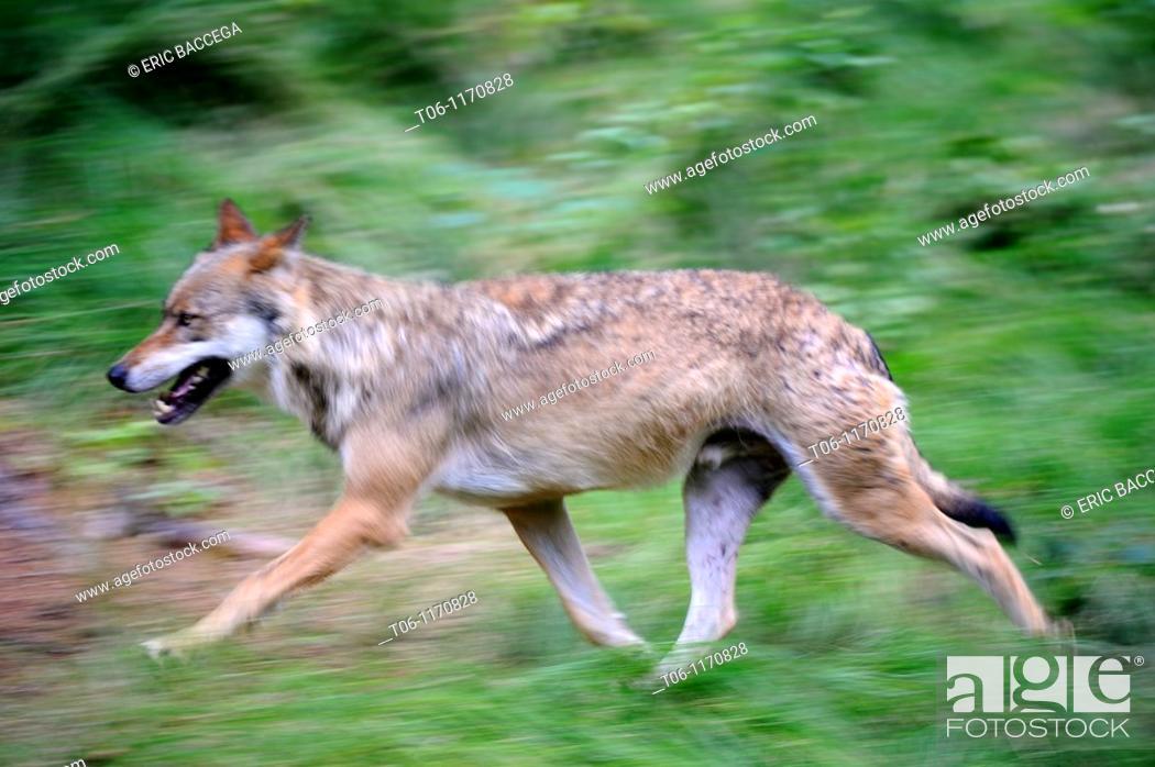 Stock Photo: European grey wolves running Canis lupus captive, Bayerischerwald National Park, Germany.