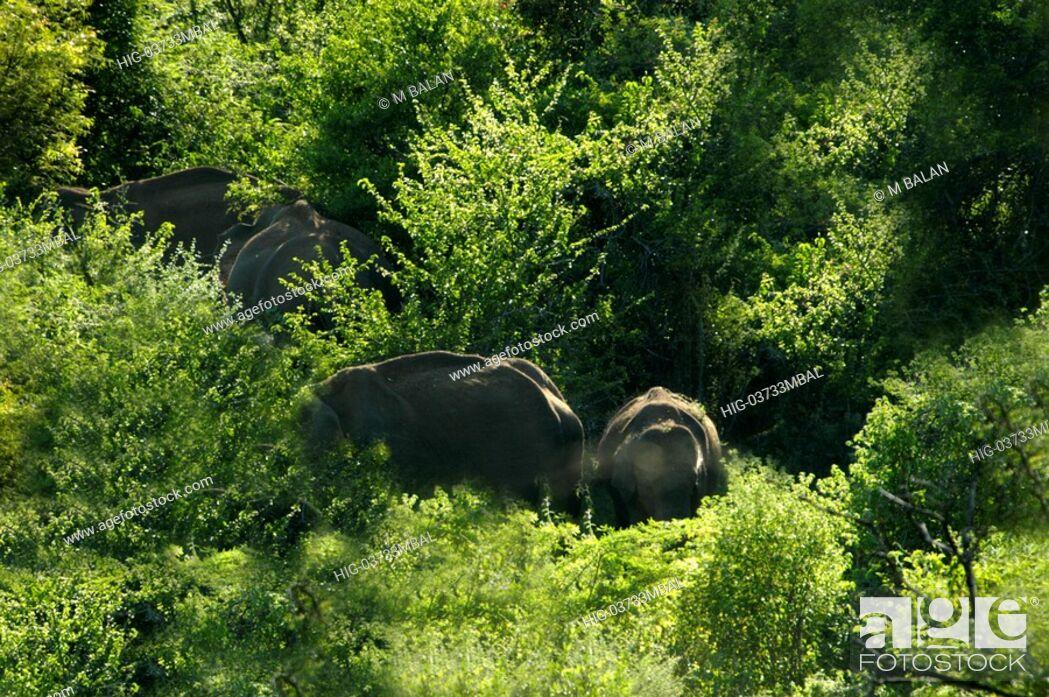 Stock Photo: ELEPHANT HERD INSIDE CHINNAR WILDLIFE SANCTUARY.