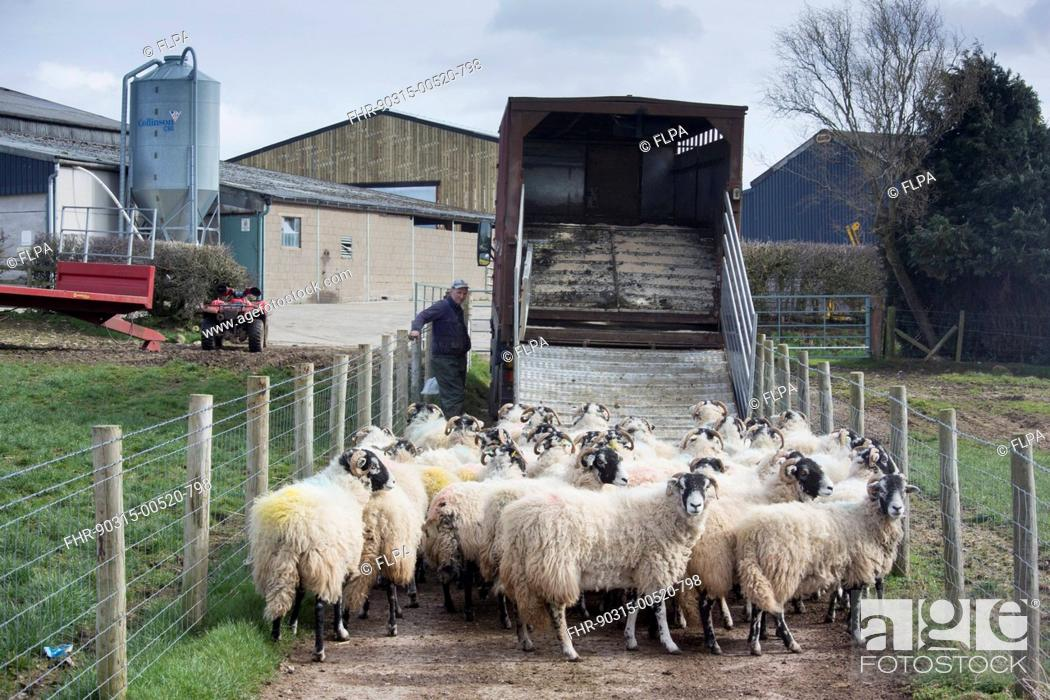 Stock Photo: Sheep farming, Swaledale flock, being loaded onto livestock wagon, coming home after being on winter keep, Cumbria, England, March.